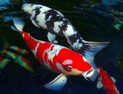Sự Khác Biệt Giữa Cá Koi Đực Và Cá Koi Cái